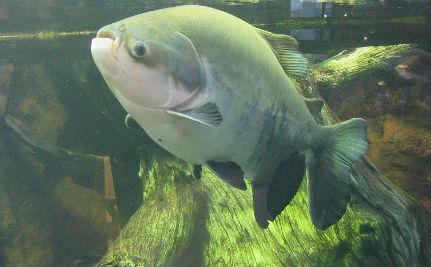 Ryba odgryza facetom jądra