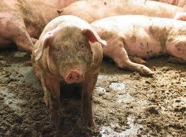Ugnojone świnie
