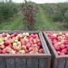 Sad-jablkowy