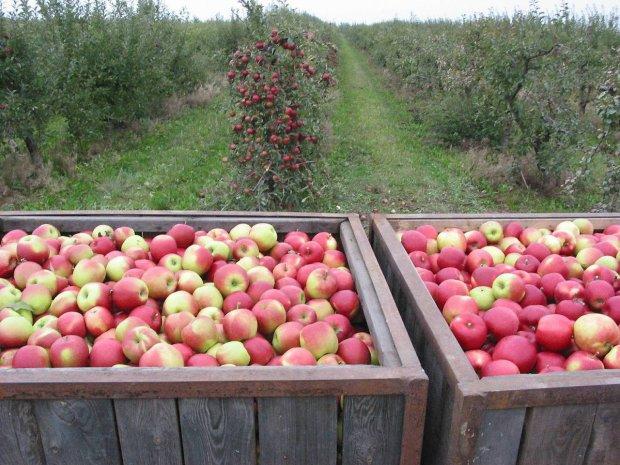 Polskie jabłko, jaka czeka je przyszłość?