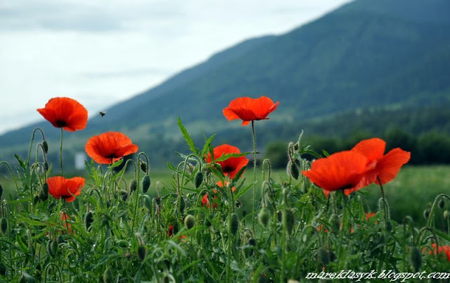 Zanim zakwitły maki na Monte Cassino