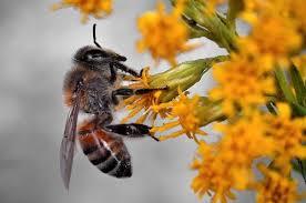 Pszczoły giną od nikotyny