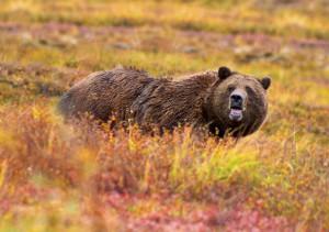 Grizzly_Denali_edit[1]