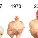 untitled.png chicken2