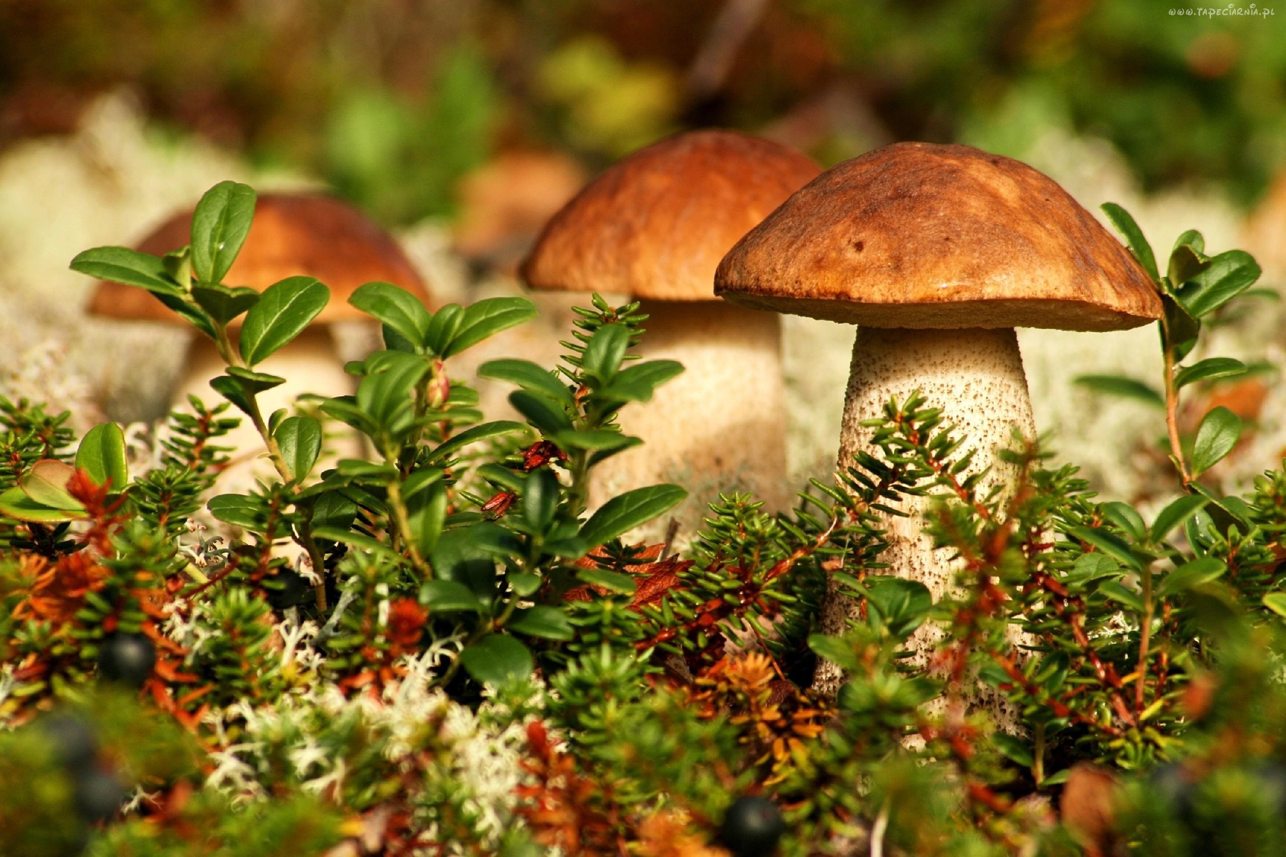 W hiszpańskich lasach panuje grzybowa mafia