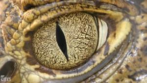 gadzie-oko