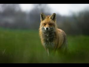 lis-rudy-vulpes-vulpes-lis-317092-large