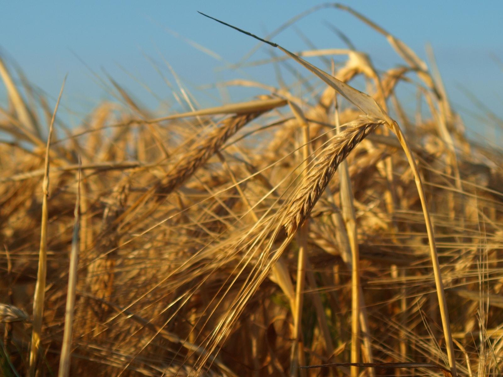 COPA/COGECA – Lobby popierające GMO i duże gospodarstwa ustala program dla polskiego rolnictwa