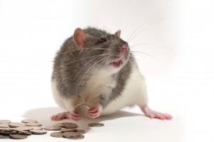 szczur pieniądze