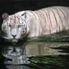 Bialy_tygrys_19