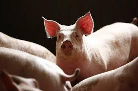 Afrykańska świńska grypa robi furorę w Polsce