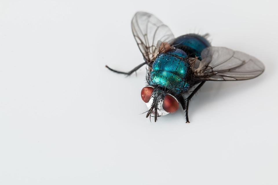 blowfly-2151453_960_720