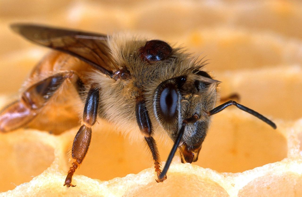 Nowe aspekty wymierania pszczół