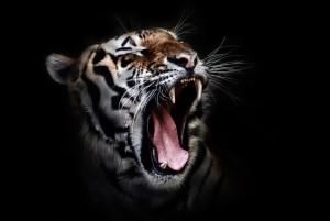 tiger-655593_960_720