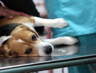 Psia grypa