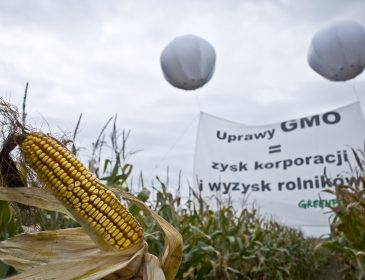 Pokrętna gra z GMO