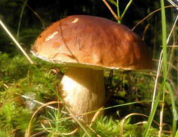 Amerykańskie borowiki w polskich lasach