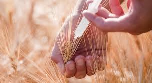 Genetycznie zmodyfikowane nasiona – globalne zagrożenie dla niezależności rolników