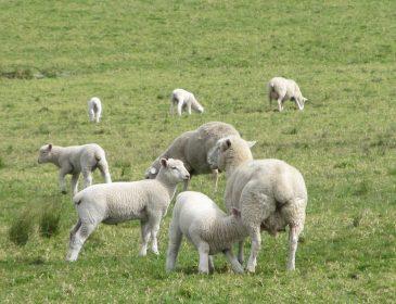 Unia Europejska zakazuje stosowania ziołowych środków leczniczych dla zwierząt w gospodarstwach ekologicznych