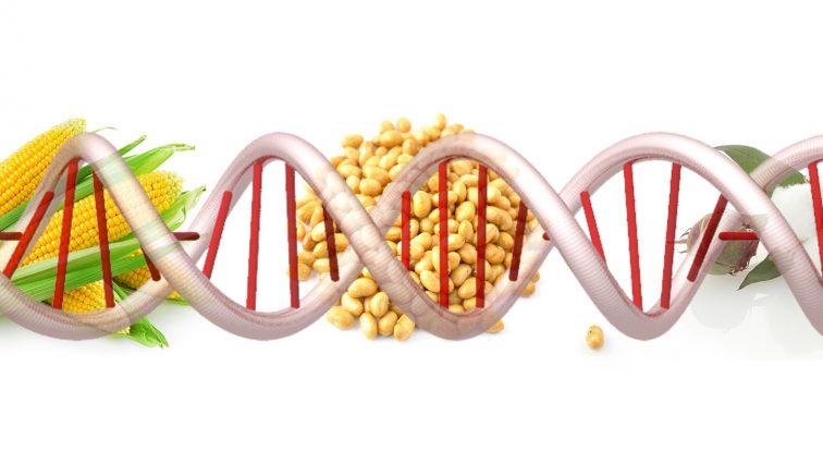 Pyłek GMO bardziej szkodliwy niż sądzono