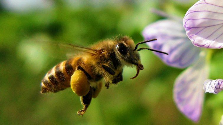 Zbierają pestycydy z pyłkiem roślin nieuprawnych