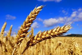 Przemysł rolniczy promuje niezdrowe dla nas zboże?