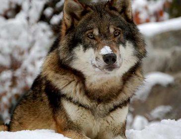 Kolejny wilk zabity podczas polowania?